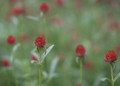 Field of flowers (billcoo) Tags: fujifilm bokeh fujinon 50140mm flowers red green