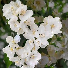 White blossom (Jan 1147) Tags: whiteblossom white wit blossom bloei bloem bloemen flower flowers lovendegem belgium nature natuur