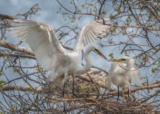 Great Egrets Sharing Sticks