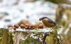 Eurasian nuthatch (Maryna K.) Tags: birds nuthatch eurasiannuthatch animal wildlife nature animalplanet