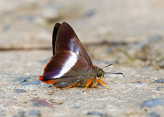 Orange-tailed Awl (chaz jackson) Tags: orangetailedawl bibasissena hesperidae coeliadinae skipper awl red tail vietnam insect butterfly