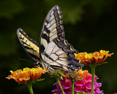 EasternTigerSwallowTail_SAF0201_DxO (sara97) Tags: saintlouis missouri insect butterfly easterntigerswallowtail papilioglaucus photobysaraannefinke towergrovepark