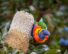 Rainbow Lorikeet (Bezzzman) Tags: rainbow lorikeet birds australia banksia blue mountains