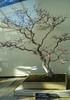 Longwood Gardens_14 (tcd123usa) Tags: longwoodgardens leicadlux4 bonsai
