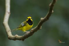 Hooded Warbler (fernaabs) Tags: hooded warbler setophaga citrina reinita encapuchada passeriformes parulidae aves fernaabs burgalin avesdecostarica