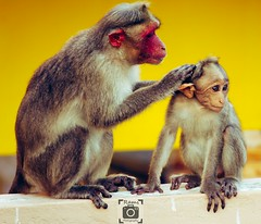 mother love (ramsugesh) Tags: monkeylove canon55250mm canon1300d canon1855mm monkey