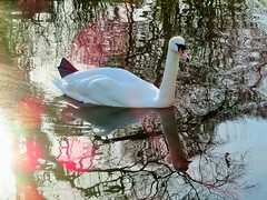 Swan Lake - Explored 30/01/2018 (seanwalsh4) Tags: swan waterbird bird muteswan cygnusolor orangebill swanlake 7dwf macroorcloseup eastvilleparklake bristol reflections elegant nature love romance light urbansetting gracefully whiteplumage hisses parklakes canals queensbird protected lovely nice happy naturephotography canon powershot sx720hs sundaysfauna wildlife