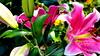 """Z albumu """"Lilie""""nr.59 (andrzejskałuba) Tags: polska poland pieszyce dolnyśląsk silesia sudety europe panasoniclumixfz200 roślina plant kwiat flower lilia lily zieleń green garden ogród różowy pink natura nature 100v10f"""