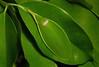 Leaf Katydid (Phyllomimus sp., Pseudophyllinae, Tettigoniidae) (John Horstman (itchydogimages, SINOBUG)) Tags: insect china yunnan itchydogimages sinobug bush cricket katydid orthoptera pseudophyllinae tettigoniidae crypsis camouflage green tweet topf25 tumblr entsoc top