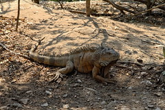 The beautiful iguana (Chemose) Tags: mexico mexique chiapas elchifflon animal iguane iguana hdr canon eos 7d mars march