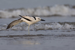 Crab Plover | Dromas ardeola (Paul B Jones) Tags: india crabplover dromasardeola modhvabeach gujarat nature wildlife stretch canoneos5dmarkiv ef800mmf56lisusm dromadidae tourism birding ecotourism tour tourist चिड़िया indiya इंडिया inde indien indië asia asian travel indian blackandwhite