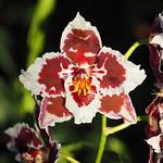 Tierische Orchideen 1/3 thumbnail