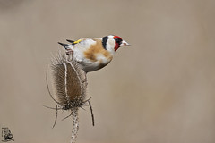Carduelis carduelis (nonnogrizzly) Tags: cardueliscarduelis cardellino aves uccelli birds natura fauna animale cardi
