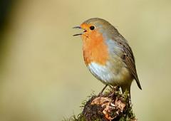 Robin (George Findlay) Tags: robin bird nikon sigma ayrshire