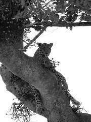 Young leopard at rest (Kaïyah) Tags: leopard animal tree bush masaimara kenya predator resting blackandwhite monochrome
