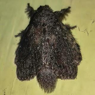 cf. Euglyphis sp. - Euglyphis Lappet Moth (Hübner, [1820])