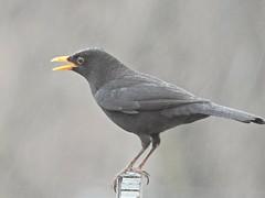 Blackbird in the rain. (Sharon B Mott) Tags: blackbird bird wildlife britishwildlife nature rain raindrops february winter gardenbird gardenvisitor inthegarden