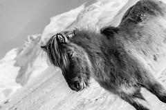 iceland-horses-single-2-Edit (berkeleyhomes-dot-com) Tags: copyright2018iraserkes westernregion iceland is