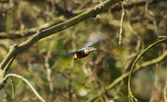 endcliffe park kingfisher sheffield 2018 (25) (Simon Dell Photography) Tags: endcliffe park bingham whitley woods forge dam kingfisher bird rare blue orange winter spring grey animal nature together wildlife sheffield botanical gardens simon dell photography 2018 feb 24 sunny detail high res perched sitting fishing