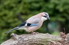 Jay (femmaryann) Tags: jay bird feeding feathers beak colourful outdoors wildlife trees green greenery branch