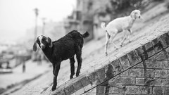Balancing (Sathish_Photography) Tags: goats balancing bw bnw blackandwhite monochrome animals varanasi kasi up uttar pradesh sathishphotography sathishkumarphotography uttarpradesh nikond750 nikon