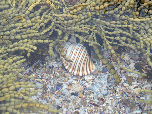 """Sunburnt Beach Shell • <a style=""""font-size:0.8em;"""" href=""""http://www.flickr.com/photos/160671654@N04/38725930545/"""" target=""""_blank"""">View on Flickr</a>"""