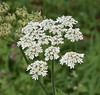 Cow Parsley (MJ Harbey) Tags: garden flower cowparsley stowegardens buckinghamshire nationaltrust anthriscussylvestris nikon d3300 nikond3300 whiteflower
