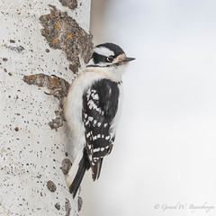 Downy Woodpecker (Turk Images) Tags: aspenparkland downywoodpecker isletlake picoidespubescens alberta birds dowo picidae winter woodpeckers