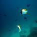 Butterflufish