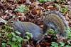 Neighborhood Squirrel Ready for a Portrait (steveartist) Tags: mammals smallmammals squirrels leaves deadleaves weeds closeups sonydscwx220 snapseed stevefrenkel animalportraits