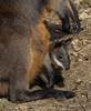 HELLO OUT THERE (babsbaron) Tags: nature tiere animals säugetiere beuteltiere mammals marsupials känguruh kangaroo bennett baby hannover zoo erlebniszoo wallaby