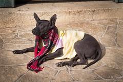 Xoloitzcuintle (alyzart22) Tags: canon dog yo yongnuo xoloitzcuintle mexico chiapas pet eyes