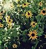 Рудбекия. Rudbeckia. (fram121) Tags: рудбекия цветок лето ташкент rudbeckia flower summer tashkent