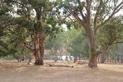 Looking through the Gum trees (janecatro) Tags: tree eucalyptus