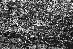 Regent's Park (fabiolug) Tags: keepsmiling sign roses rose flowers rosegarden garden flower light shadow shadows nature regentspark park london leicam6 leicam6ttl leicam6ttl072 leica m6 rangefinder film fimphotography believeinfilm 35mmsummicronasph 35mmf2summicronasph summicronm35mmf2asph summicron35mmf2asph 35mm summicron leicasummicron leica35mm fujifilmneopanpresto400 fujifilmneopan400 fujifilmneopanpresto neopan400 neopanpresto fujifilm blackandwhite blackwhite bw