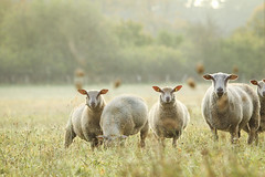 Get away! (stephanmertens) Tags: sheep schafe naturpark october 2017 autumn wiese meadow dunst mist