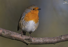 "Robin (Mick Erwin) Tags: nikon afs 600mm f4e fl ed vr lens d850 ""mick erwin"" stoke trent staffordshire wildlife nature ""nikon d850"" robin"