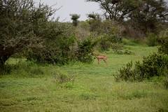 a gerenuk feeding (cknot1sk) Tags: tsavoeastnationalpark kenyasafari gerenuk