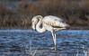 Phoenicopterus roseus (. Christian Ferrer .) Tags: phoenicopterus roseus littoral pond étang nikon lidodethau thau sète hérault occitanie flamantrose greater flamingo
