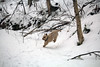 Jeter - 1/21/18 (myvreni) Tags: vermont winter snow nature outdoors animals dogs cairnterriers pets