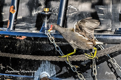 captain moorhen (Paul Wrights Reserved) Tags: moorhen bird birding birds birdphotography birdwatching birdinflight action actionphotography walking flying boat boats canal wings eye colour rope tightrope chains metal manmade feathers waterfowl