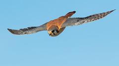 American Kestrel (gilamonster8) Tags: american kestrel bird fly canon eos hawk falcon ngc sky 7dmarkii ef400mm56l explore explored flight flickrelite