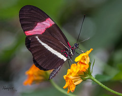 Red Postman Butterfly (Rainfire Photography) Tags: butterfly petphotographer nikon d7200 beautiful flower redpostman heliconiuserato macro nature insect fauna wildlife garden park