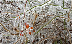 Berries under an icy coat (boitchy) Tags: berries icycoat globalwarming tree canada climatechange davidsuzuki twigs ontario canadianscenery toronto publicdomain plant ice icestorm nature freeze dof bokeh icicle winter
