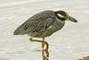 Got that crab snack (ChicagoBob46) Tags: yellowcrownednightheron nightheron heron bird florida jndingdarlingnwr sanibel sanibelisland nature wildlife ngc coth5 npc