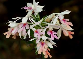 orquideas8