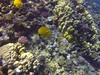 Butterflyfish (Peter_069) Tags: tauchen diving scuba malediven maldives äqypten egypt wasser water underwater unterwasser padi fische fisch fish shellfish muscheln moräne moränen moraine batfish fledermausfisch koralle korallen coral nemo clownfisch clownfish boot boat vessel blaueswasser bluewater