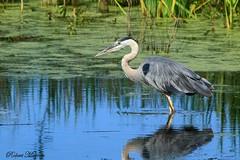 Great Blue Heron (Bob the Birdman and All Around Nature Guy) Tags: greatblueheron ardeaherodias robertmiesner bobthebirdman heron bird animal wildlife nature