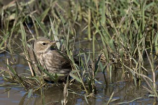 Pipit spioncelle (Anthus spinoletta) - Water Pipit