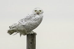 Snowy Owl (Joseph M. Campbell) Tags: edwinbforsythenwr nationalparks nature newjerseywildlife owls raptors snowyowl wildlife
